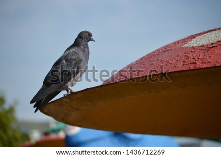 Dove on the unusual roof. Gray pigeon. Beautiful feral bird.