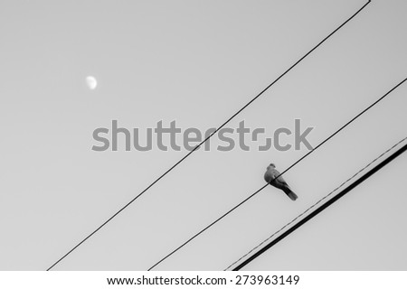 Dove on the wires in the moonlight