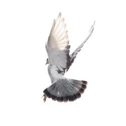 dove on white background