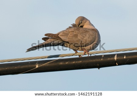 Dove perched on wire at sunset, Eurasian Collared Dove, non-native bird species introduced to United States, sleeping behavior, grooming behavior