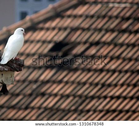 dove, picture  taken at cochin, India