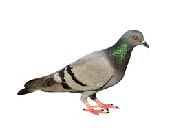 Dove, Pigeon isolated on white background, Rock pigeon over white isloated on white background