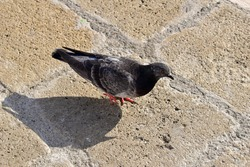 Dove (pigeon) on the cobblestones street. Symbol of peaceful life. the bird is sitting. black and white pigeon. Panoramic picture. Place for text.