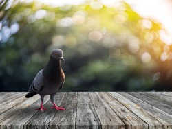 Dove stands alone on the old slat floor in the morning.Dove stands alone on an old wooden table in a bokeh backdrop.
