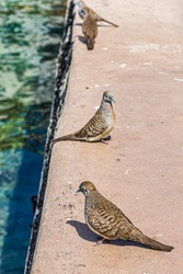 Doves on the dock in Honolulu