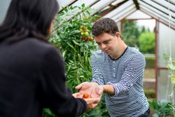 Down syndrome adult man gathering tomatoes in greenhouse, gardening concept.