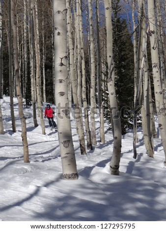 Downhill woman  skier  amid bare winter aspens at  Steamboat Springs, Colorado