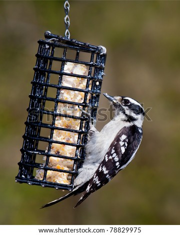 downy woodpecker hangs onto a metal suet feeder. Beak is filled with suet, shallow focus green and brown background