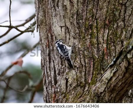 Downy woodpecker in oak tree  Zdjęcia stock ©