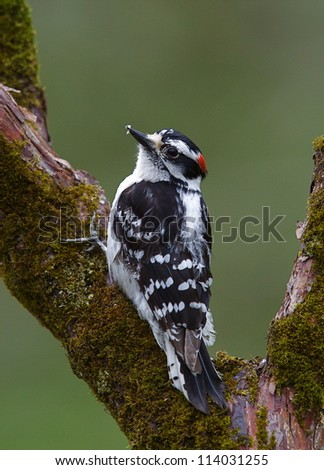 Downy Woodpecker on moss covered branches with a natural background, Pennypack Nature Center, suburban Philadelphia, Pennsylvania, USA