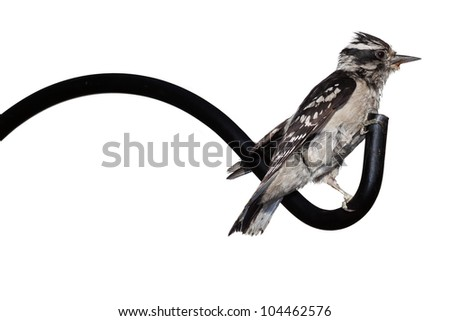 Downy woodpecker perches herself on the end of a shepherd hook. Profile of black and white bird as she hangs on to the tip of the iron pole. Bird is on a white background.