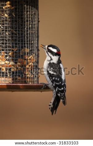 Downy Woodpecker (Picoides pubescens medianus), male on a feeder.