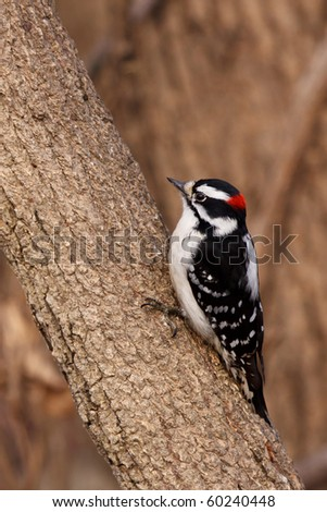 downy woodpecker prepares to peck on a branch of a tree ; shallow focus