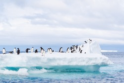 Dozens of Adelie Penguins gather on an ice flow in the seawater near Brown Bluff on the Antarctica Peninsula.  Grey clouds above and turquoise water from the ice below provide a backdrop.