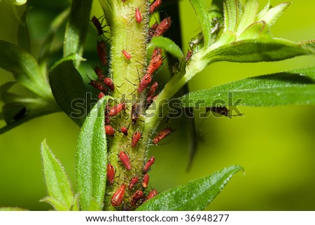 Dozens of aphids on a plant stem.