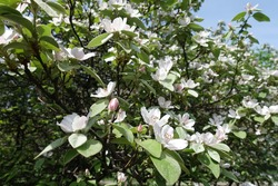 Dozens of pinkish white flowers in the leafage of quince in May