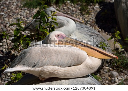 Dozing Great White Pelican sitting on a rock