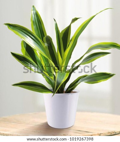 Dracaena fragrans is a small to medium-sized perennial with beautiful flowers at the time of flowering, it has a mild aroma, often used as a decorative plant. - Shutterstock ID 1019267398