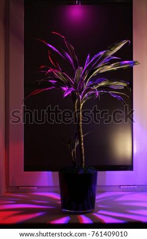 Stock Photo Dracaena plant illuminated after dark