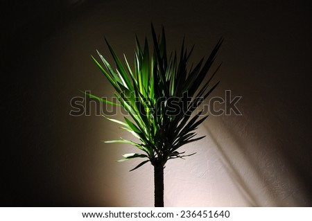 Dracaena Plant with dramatic lighting in an empty room