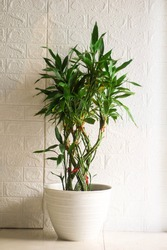 Dracaena Sanderiana or Lucky Bamboo Plant in a White Pot
