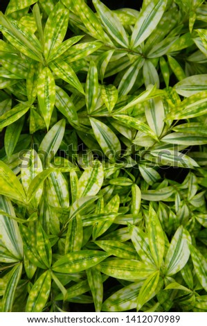 Dracaena surculosa sunny day green leaves background vertical vertical