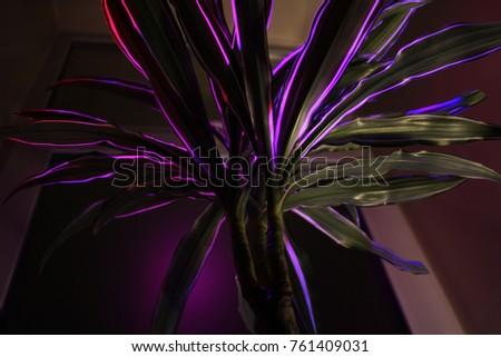 Stock Photo Dracaena tree crown illuminated close up