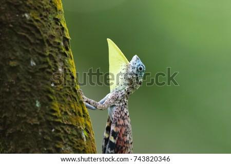 Draco flying lizard of western ghats shot in deep woods
