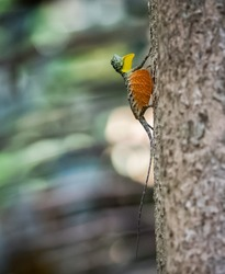 Draco volans, the common flying dragon, is a species of lizard endemic to Southeast Asia. lizard in wild