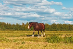 Draft horse on a summer pasture