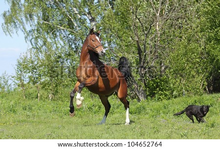 Draft horse playing with a small dog in the summer meadow