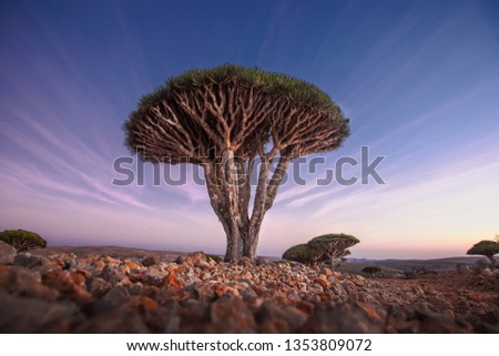 Dragon Blood Tree in the Dragon Blood trees forest in the protected area of the Dixam Plateau in the center part of the island of Socotra, Unesco world heritage site