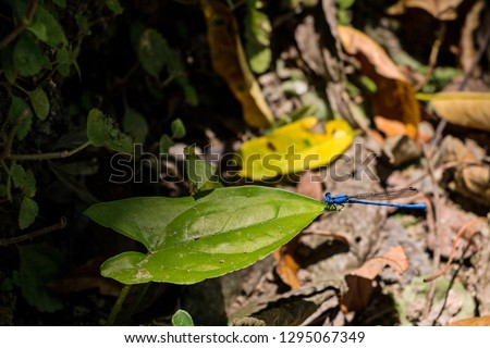 Dragon-fly perched on a green leaf tip in the mexican jungle.  Low angle shooting.   #1295067349