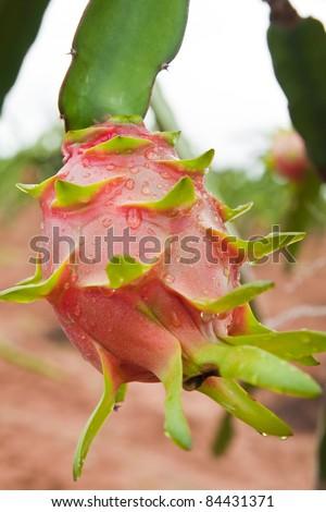 dragon fruit on a tree - stock photo