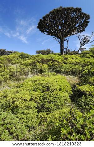 Dragon´s Blood Tree on Socotra island, UNESCO-World Heritage Site, Yemen
