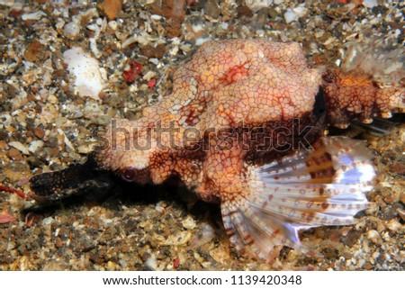 Dragon Sea Moth (Eurypegasus draconis, aka Little Dragonfish, Short Dragonfish, Common Seamoth). Lembeh Strait, Indonesia
