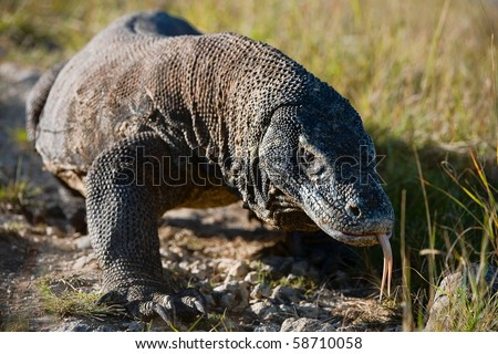 Dragon / The Komodo dragon  is a large species of lizard found in the Indonesian islands of Komodo, Rinca, Flores, and Gili Motang.