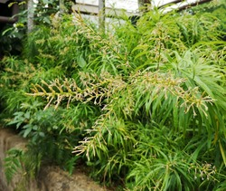 Dragon Tree 'Anita' (Dracaena reflexa) produces insignificant white flowers, each lobe with a purple-reddish band.