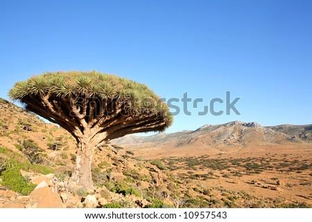Dragon tree - Dracaena cinnabari - Dragon's blood - endemic tree from Soqotra, Yemen