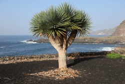 Dragon tree on the shore of the Atlantic Ocean. It grows in the black volcanic soil of Tenerife. The islanders really appreciate this tree and treat it with great respect.