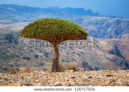 Dragon tree, Socotra, Yemen