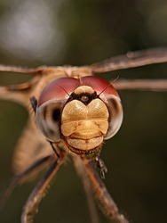 Dragonflies are insects that have long bodies, transparent wings, and large eyes There are over 5000 species of dragonflies
