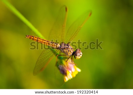 Stock Photo Dragonflies background