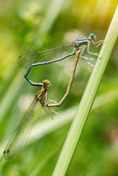 Dragonflies mating,  dragonfly heart, macro