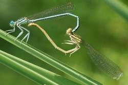Dragonflies mating,  mating wheel, dragonfly heart, macro
