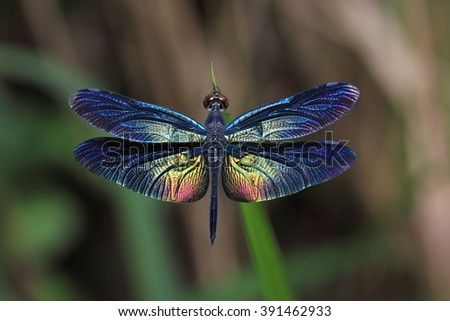 Dragonflies of Thailand. Beautiful wing of dragonfly.