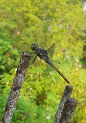 dragonflies perched on scrap metal
