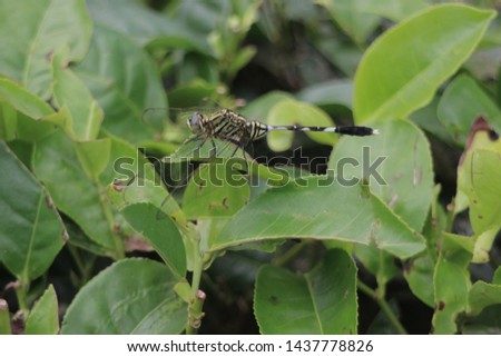 Dragonflies with the Latin name Anisoptera are perched on tea leaves