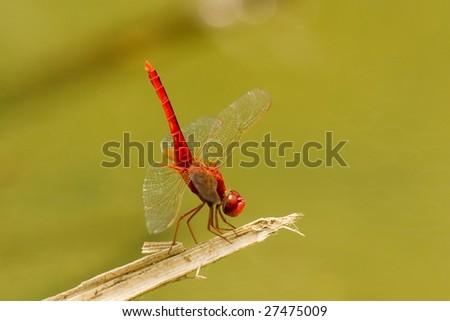 dragonfly #27475009