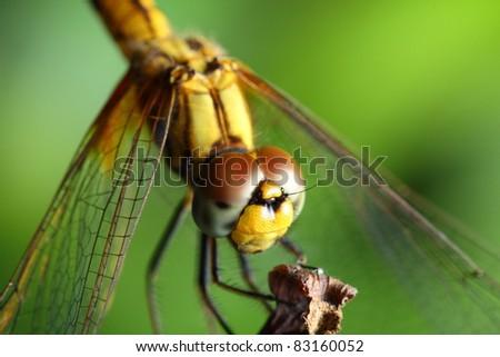 dragonfly #83160052